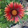 Gaillardia-arizona-red-shades-3717.jpg