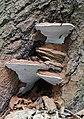 Ganoderma adspersum, Southern Bracket UK.jpg