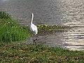 Garça Branca às margem do Lago do Parque Ecológico. - panoramio.jpg