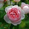 Garden pale pink rose at Goodnestone Park Kent England.jpg