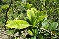 Gardenia jasminoides kz1.jpg