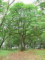 Gardenia resinifera (752238323).jpg