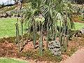 Gardenology Nyctocereus serpentinus Royal Botanic Gardens.jpg