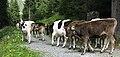 Gargellen Almabtrieb Kühe Cows.jpg