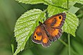 Gatekeeper (Pyronia tithonus) male 2.jpg