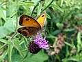 Gatekeeper Butterfly on Knapweed - geograph.org.uk - 1985339.jpg