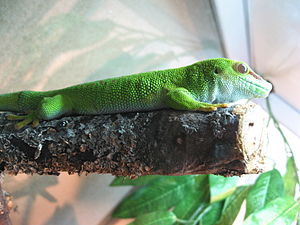 Gecko in Moscow Zoo