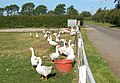 Geese beside the road at Woodbine Farm - geograph.org.uk - 1485402.jpg