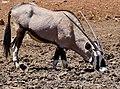 Gemsbok (Oryx gazella) male drinking ... (50217869767).jpg