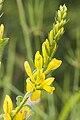 Genista tinctoria coteau-charteves 02 23062007 9.jpg