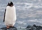 Gentoo Penguin Half Moon Bay Antarctica (47284156062).jpg