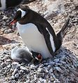 Gentoo Penguin with chicks (6123853218).jpg