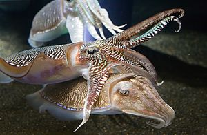 Two cuttlefish interacting