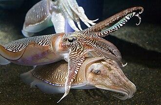 Neocephalopoda - Image: Georgia Aquarium Cuttlefish Jan 2006
