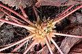 Geranium robertianum kz03.jpg
