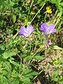 Geranium sylvaticum003.jpg