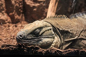 Description de l'image Gfp-jamaican-iguana.jpg.