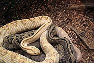 Gfp-northwestern-neotropical-rattlesnake.jpg