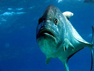 Giant trevally - Frontal view of a giant trevally illustrating the compressed form of the species