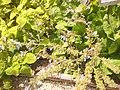 Giardino botanico di Brera (Milan 20.jpg