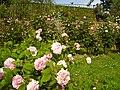 Giardino delle rose 3.JPG
