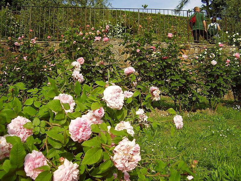 File giardino delle rose 3 jpg wikimedia commons - Giardino delle rose firenze ...