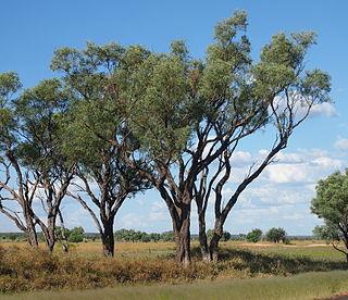 <i>Acacia cambagei</i> Species of plant