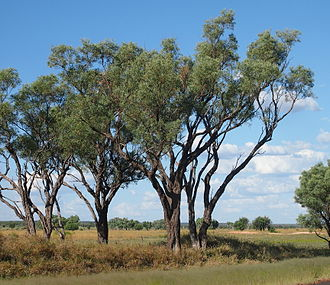 Acacia cambagei - Image: Gidgee