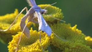 File:Gillmeria ochrodactyla - 2015-07-31.webm