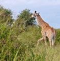 Giraffe (Giraffa camelopardalis) young ... (50675788511).jpg
