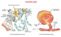 Glial cells ku.png