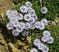 Globularia cordifolia ssp. repens 02.jpg