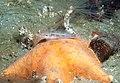 Goby on starfish (6004434648).jpg