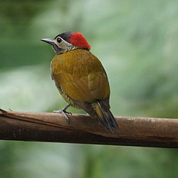 Golden-Olive Woodpecker (5535417527).jpg
