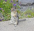Golden-mantled Ground Squirrel, Mt. Saint Helens 01.jpg