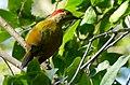 Golden-olive Woodpecker (Colaptes rubiginosus) female - Edzna Campeche.jpg