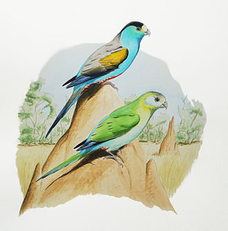 Golden-shouldered parrot - Male and female
