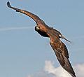 Golden Eagle in flight - 2.jpg