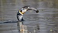 Got him! Indian cormorant swallows big catfish.jpg