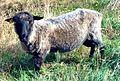 Gotland pelt sheep.jpg