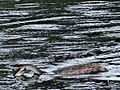 Grèbe huppé sur lac du héron (1).jpg