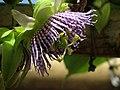 Granadilla (Passiflora ligularis) - Flickr - Alejandro Bayer (2).jpg
