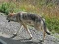 Gray wolf in Denali National Park (6068124462).jpg