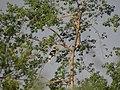 Great Hornbill - Buceros bicornis DSC02694.jpg