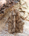 Great brocade moth - eurois occulta (41970064424).png
