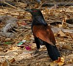 Greater Coucal (Centropus sinensis) in Parli, AP W IMG 7935.jpg