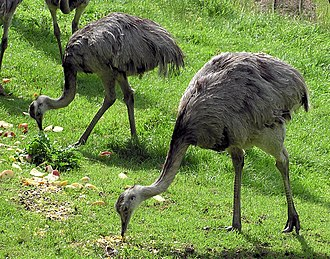 Rhea (bird) - Two greater rheas