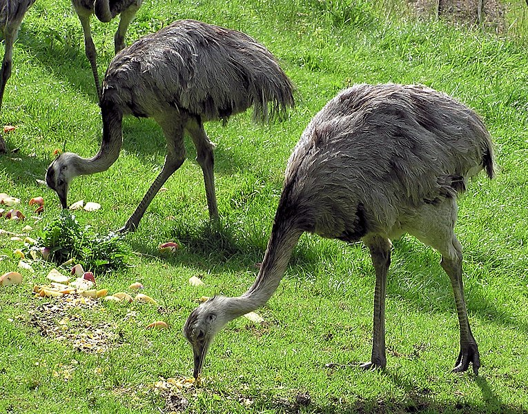 പ്രമാണം:Greater rhea pair arp.jpg