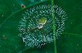 Green Orb Web Spider (Argiope sp.) (14529004546).jpg
