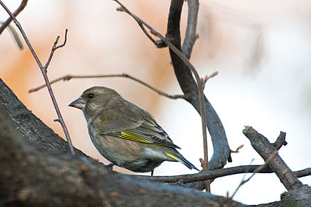 Greenfinch Lodz(Poland)(js)01.jpg